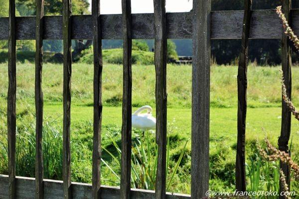 フランス 白鳥