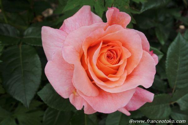 フランス 薔薇