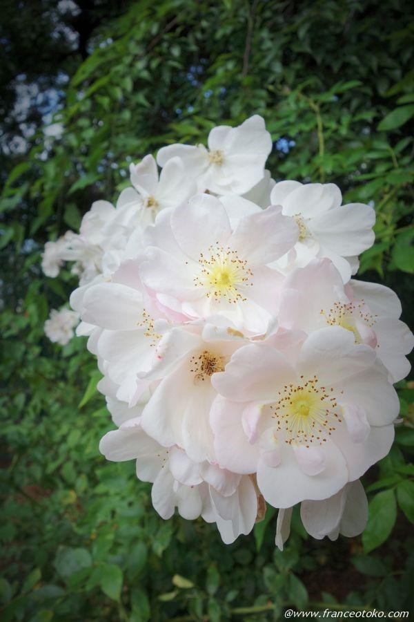 フランス 白い花