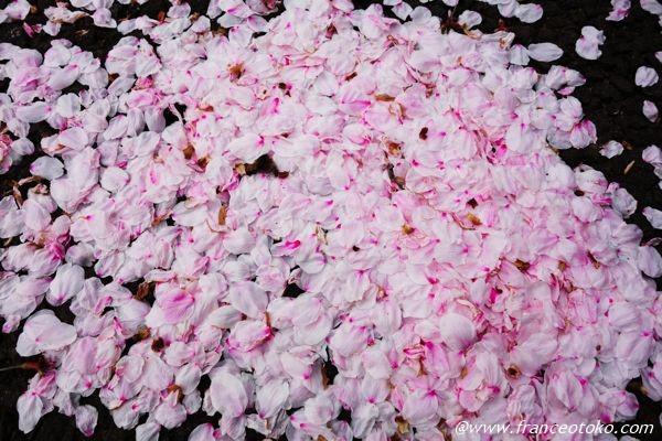 桜 花びらのじゅうたん
