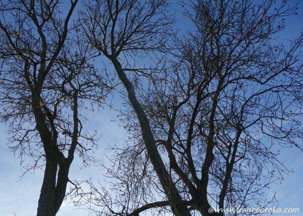 フランスの木