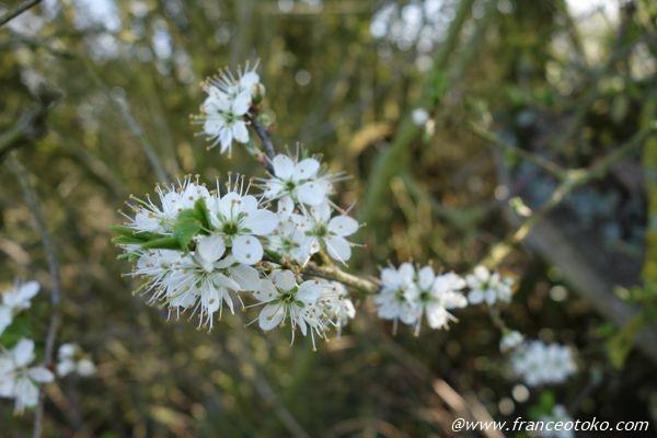 白い花 フランス