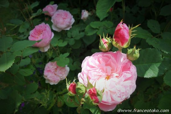 フランス 薔薇 シーズン