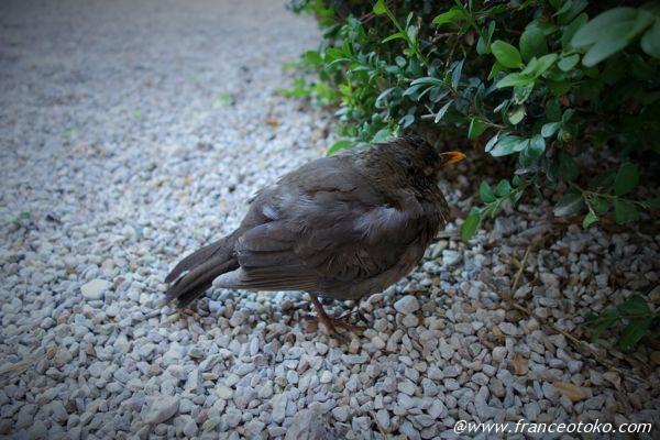 フランス 野鳥