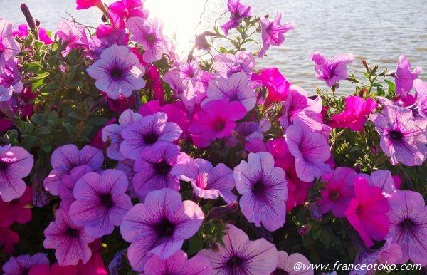 きれいな花 紫
