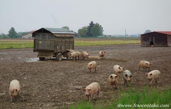 フランス 豚 農家