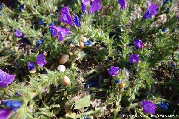 紫 花 イタリア