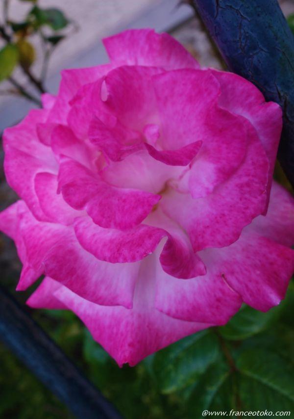 フランスのバラ