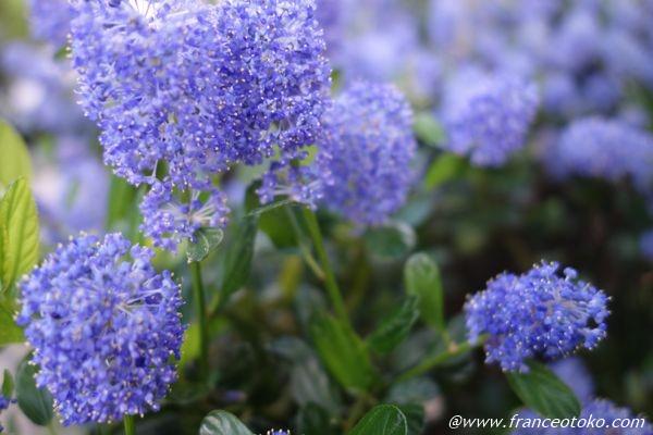 フランス 青い花