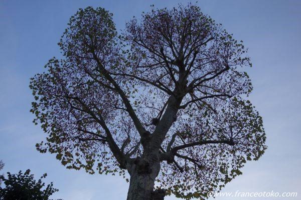 フランス 木