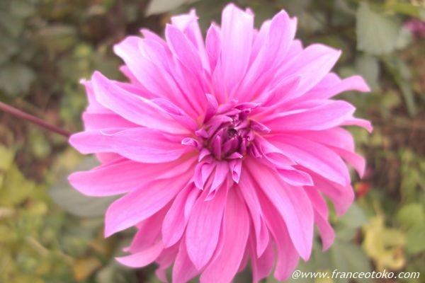 フランス 花 ピンク
