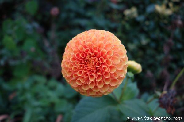 オレンジ色 花