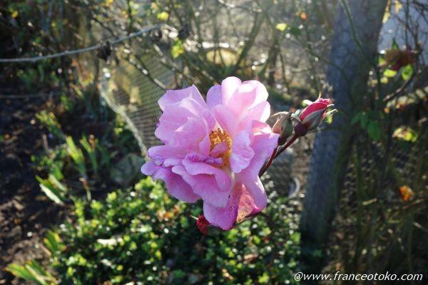 フランス ピンクの花