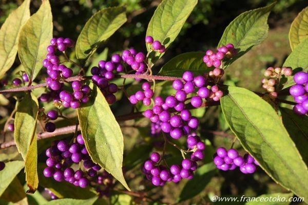 紫 木の実