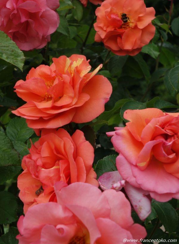 L'Haÿ-les-Roses 薔薇