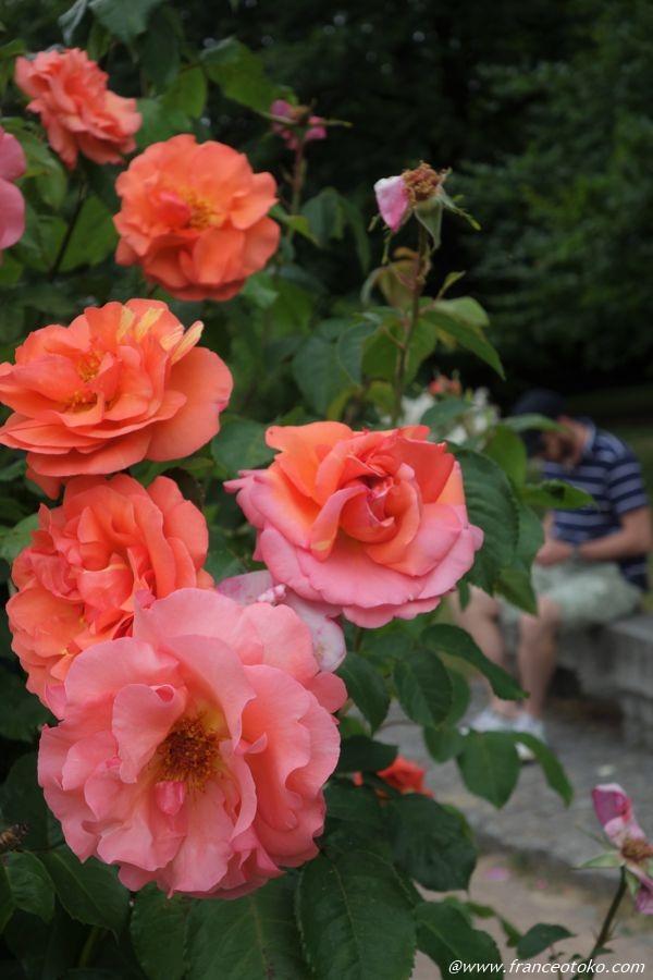 フランス人と薔薇