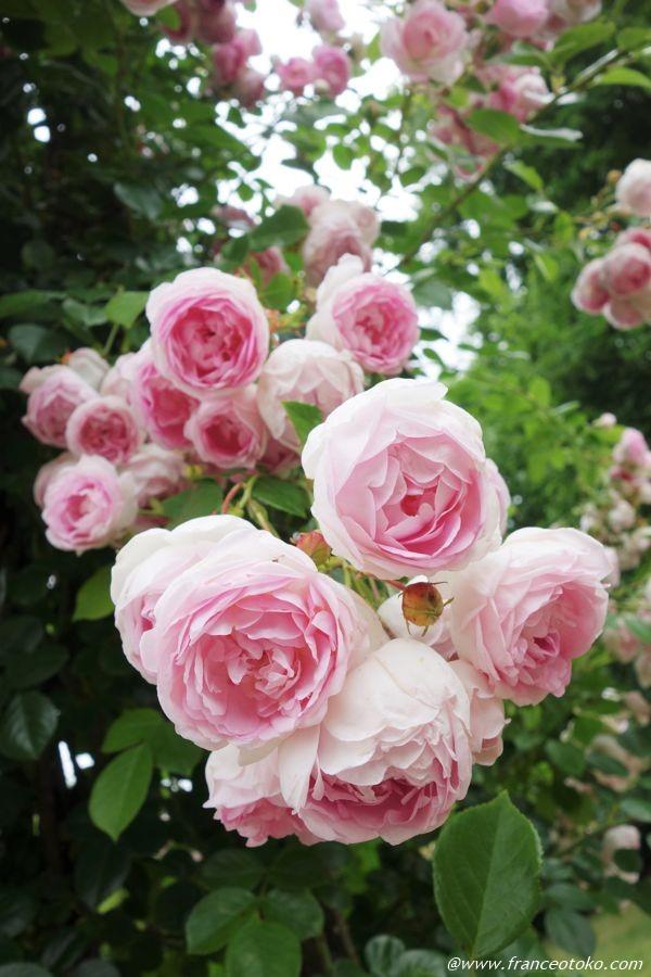 かわいいバラ