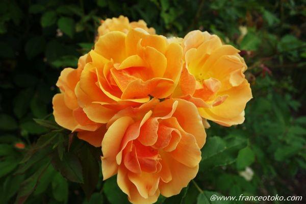 黄色 バラ