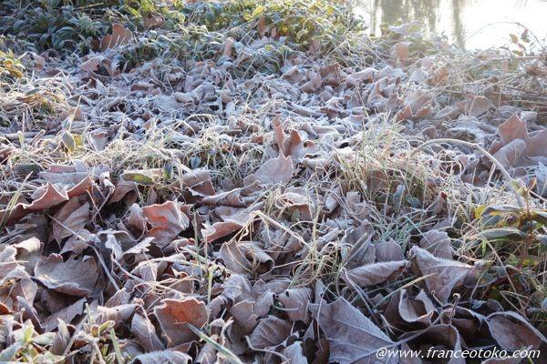 葉っぱ 霜