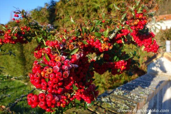 フランス 赤い木の実