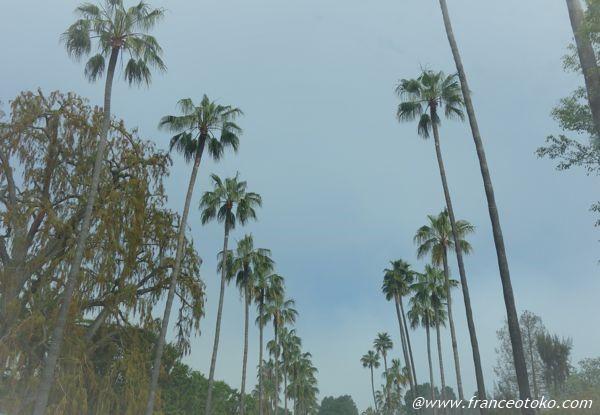ロサンゼルス ヤシの木