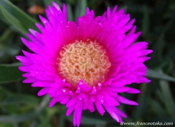 ピンクすぎる花