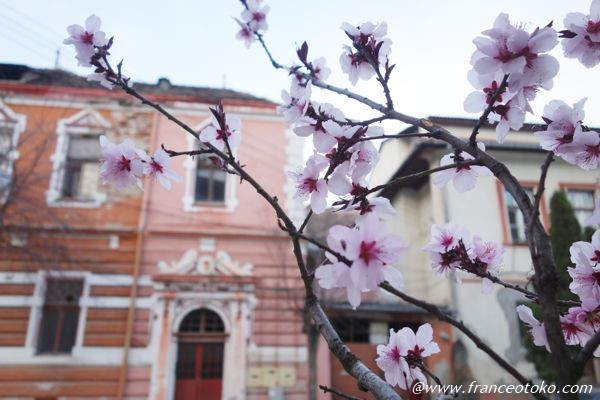 ヨーロッパ 桜