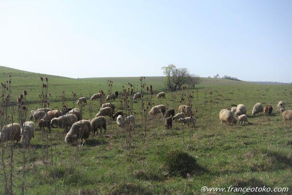 羊 ルーマニア
