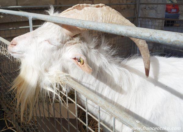山羊 ヒゲ