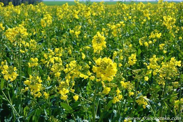 フランス 黄色い花の畑