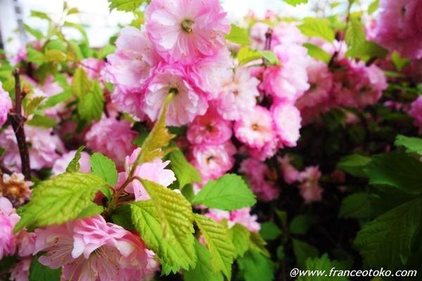 ピンクの花 フランス