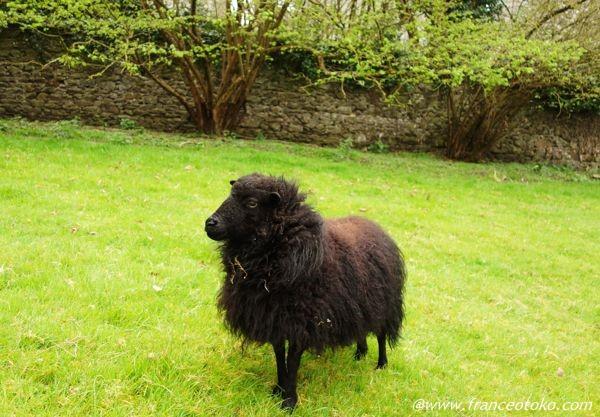 フランス 黒い羊