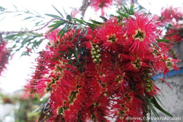 赤い 植物 5月