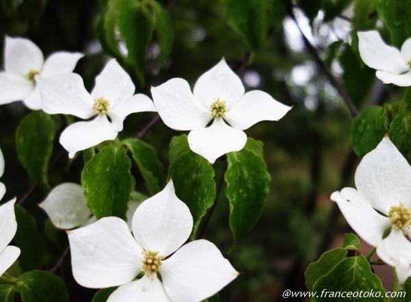 白い花 5月 日本