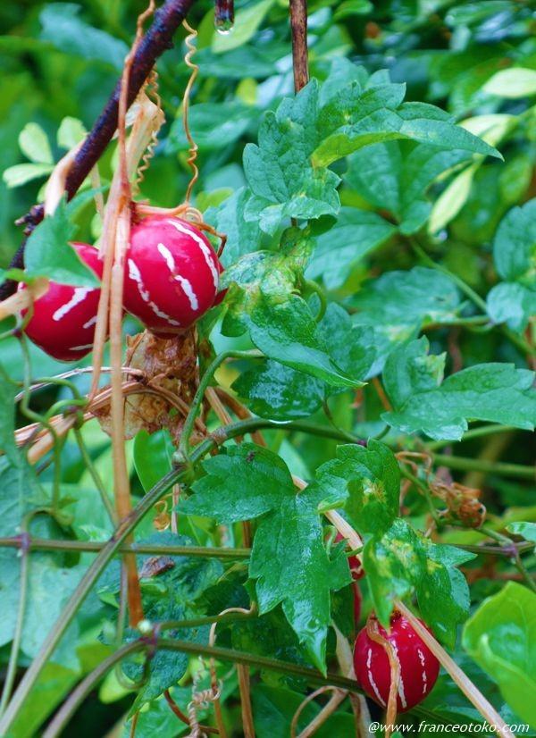 波照間島 赤い木の実