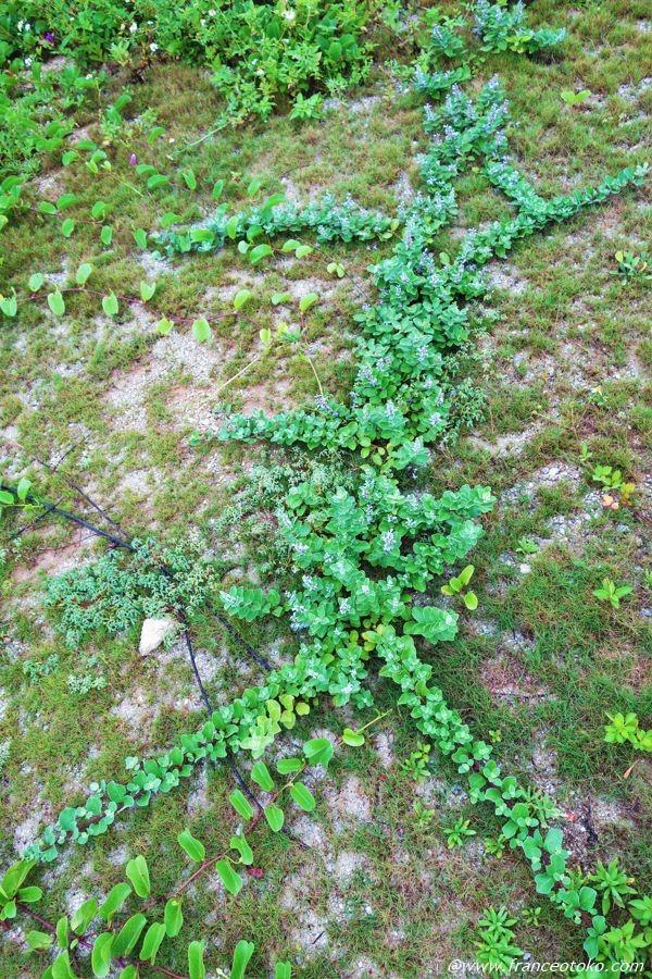 波照間島 植物