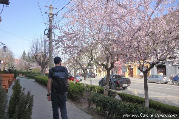シギショアラ 桜