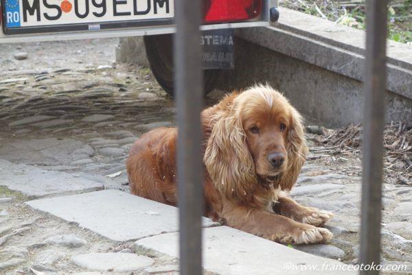 スパニエル犬 茶色