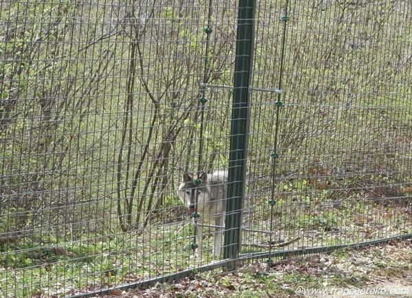 ルーマニア  野生狼