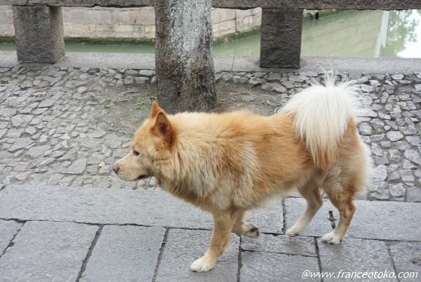 中国 金色 犬