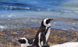 南アフリカのペンギン村ボルダーズビーチで萌え萌え萌え