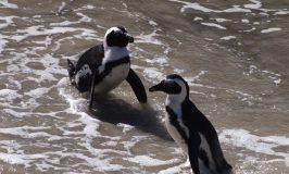南ア来たならペンギンで賞!コッヘルベルフ自然保護区